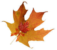 Fall Maple leaf with maple candy Stock Photo