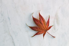 Fall maple leaf. One fall maple leaf on white marble studio shot Stock Images