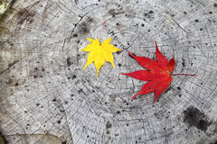 Fall maple leaf. Red and yellow maple leaf on a cut trunk Stock Images