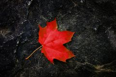 Fall Maple Leaf on Rough Rock in Wilderness Autumn stock photo