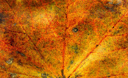 Fall maple leaf texture Stock Photography
