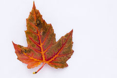 Fall  Maple Leaf Royalty Free Stock Photography