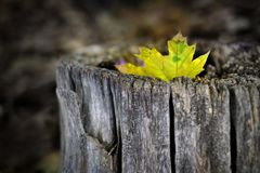 Fall Maple Leaf in Tree Trunk Old Autumn Wilderness royalty free stock photography