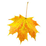 Fall Maple Leaf. On White Background Royalty Free Stock Photography