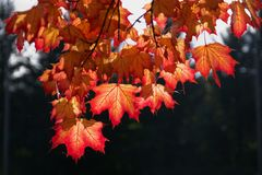 Fall maple leafs Stock Photography