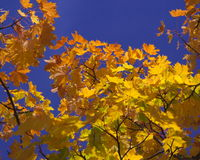 Fall maple leafs in blue sky Stock Photos