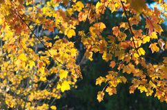 Fall maple leafs Royalty Free Stock Photography