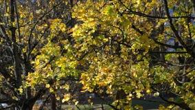 Fall maple leafs in wind stock video