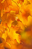Fall Maple Leaves Royalty Free Stock Photos