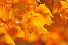 Fall maple leaves Stock Photography