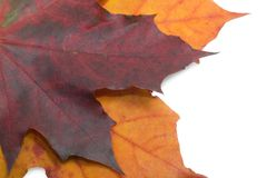 Fall Maple Leaves Royalty Free Stock Image