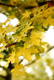 Fall maple leaves. Yellow and green fall maple tree leaves Stock Photo
