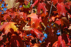 Fall Maple leaves. Bright red maple leaves on a sunny day Stock Images