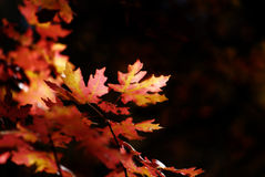 Fall Maple Leaves Royalty Free Stock Photography