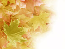 Fall maple leaves royalty free stock photo