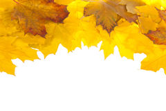 Fall maple leaves Royalty Free Stock Images