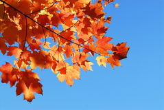 Fall maple leaves stock image