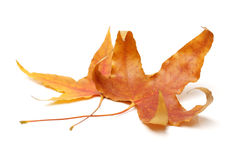 Free Fall Maple Leaves Royalty Free Stock Photos - 34901818