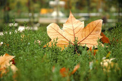 Fall maple leaves. On still green bush stock image