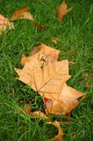 Fall maple leaves. On still green grass royalty free stock photo