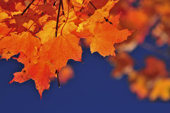 Free Fall Maple Leaves Royalty Free Stock Photography - 9480637