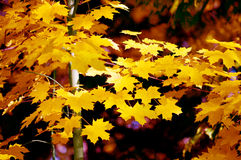 Fall maple leaves Stock Photos