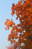 Fall. Maple leaves in an autumn color Royalty Free Stock Photos