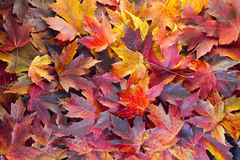 Fall Maple Leaves Background Royalty Free Stock Photo