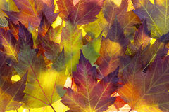 Fall Maple Leaves Background Royalty Free Stock Image