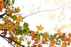Fall maple leaves background Royalty Free Stock Photos