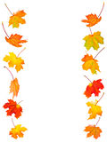 Fall maple leaves background Stock Photo