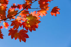 Fall Maple Leaves with Blue Sky Royalty Free Stock Image
