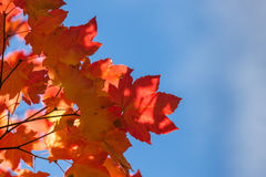 Fall Maple Leaves with Blue Sky Stock Image