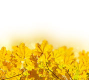 Fall maple leaves Stock Photo