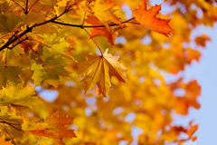 Fall maple leaves at branch Royalty Free Stock Photo