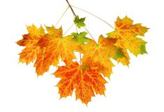 Fall maple leaves. Branch of fall maple leaves isolated on a white background Royalty Free Stock Photography