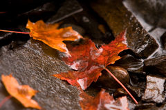 Fall maple leaves in brook Royalty Free Stock Photos