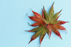 Fall maple leaves. Closeup of several fall maple leaves on blue background studio shot Stock Image