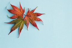 Fall maple leaves. Closeup of three fall maple leaves on blue background studio shot Royalty Free Stock Photo