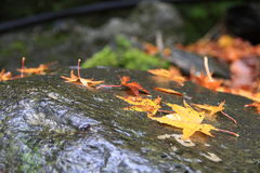 Fall. The maple leaves fell on the stone ,Shot in Asia in Taiwan Royalty Free Stock Images