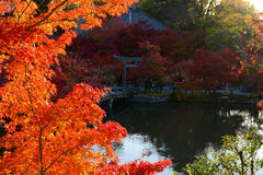 Fall maple leaves glowing bright red in the evening autumn sun by a peaceful pond Royalty Free Stock Photo
