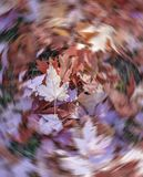 Fall maple leaves in a pile on the ground, motion bur around one. Leaf near center. Autumn, outdoors and Canada concepts stock photos