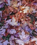 Fall maple leaves in a pile on the ground, view from above. Autumn, outdoors and Canada concepts stock photo