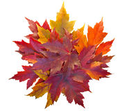 Fall Maple Leaves Pile Isolated. Fall Season Maple Tree Pile of Leaves Isolated on White Background stock photo