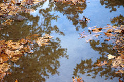 Fall maple leaves in puddle. And trees are reflected royalty free stock photos