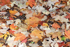 Fall maple leaves Stock Images