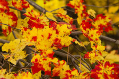 Fall Maple Leaves in Transition Stock Photos