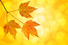 Fall Maple Leaves Trio with Bokeh Background Stock Images