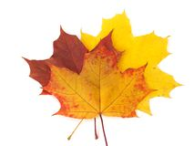 Fall Maple leaves on white background Royalty Free Stock Image