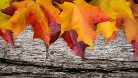 Fall maple leaves on wooden table Royalty Free Stock Photography